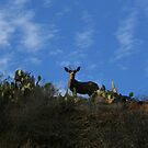 Catalina Deer in sunlight by cfam