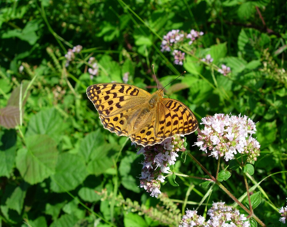 High Brown Fritillary by Monster
