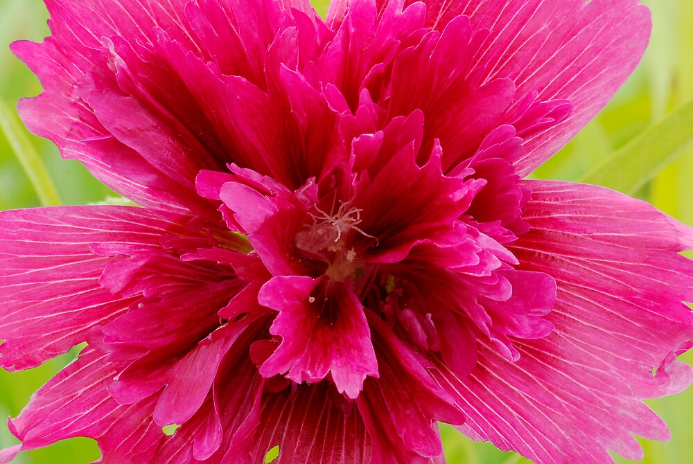 Hollyhock Flower by Dency Kane