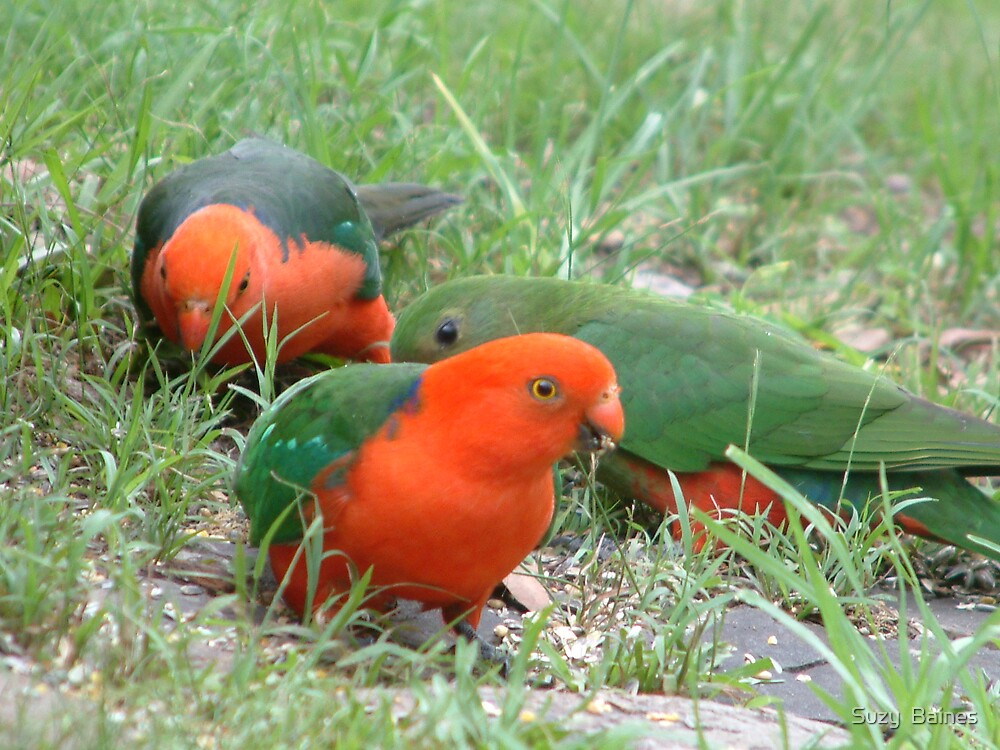 King Parrots by Suzy  Baines