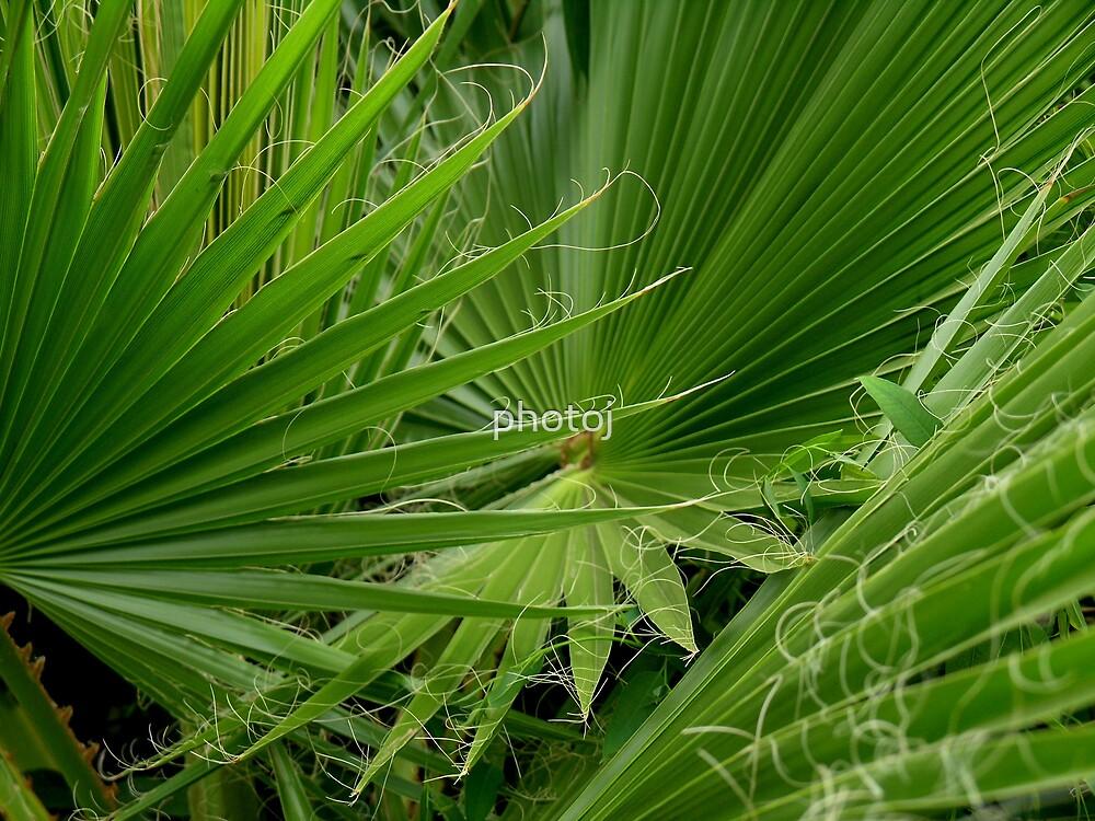 photoj Fan Palm by photoj