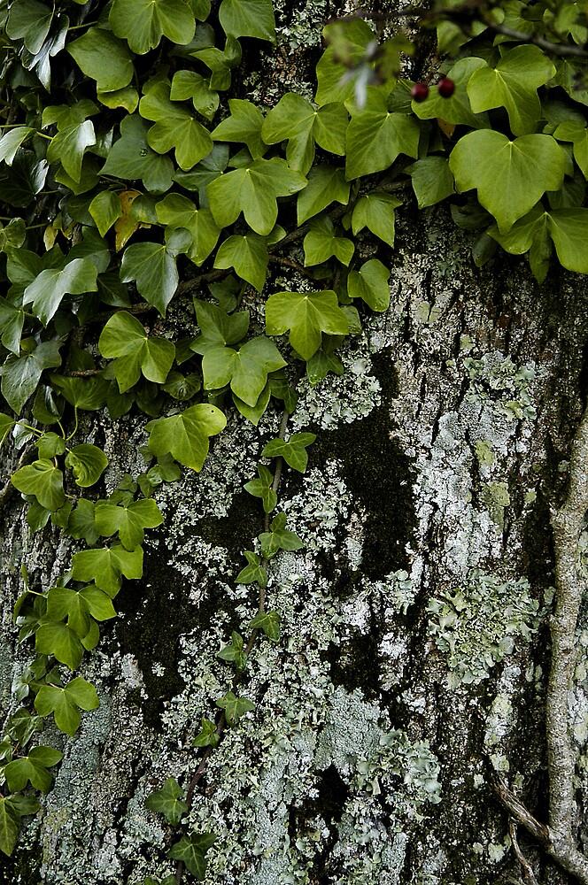 Ivy, bark, lichen by JimWhitham
