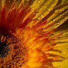 Sunny Gerbera  by Sherstin Schwartz