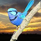 Sunset Blue Wren by Coralie Plozza