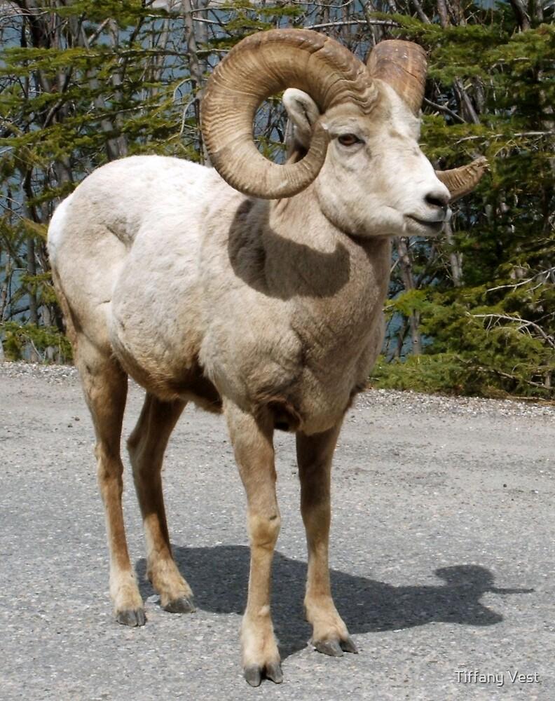 Banff Big Horn by Tiffany Vest