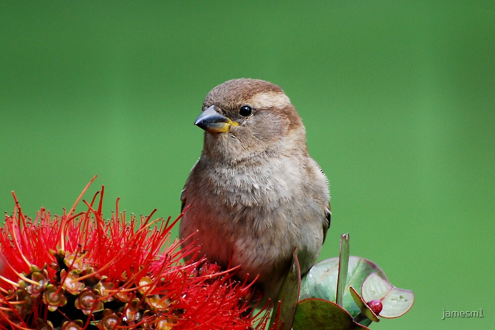 House Sparrow by jamesm1