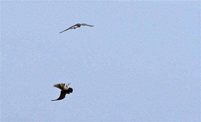 Northern Harrier [ top bird] and a Falcon [bottom bird] by raptrlvr