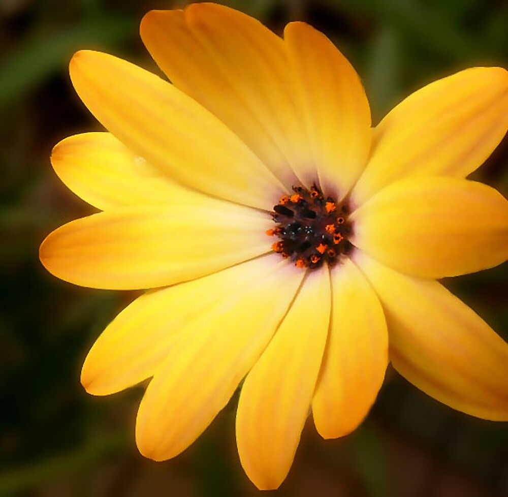Osteospermum by mariarty