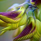 Green Birdflower - Crotalaria cunninghamii by Extraordinary Light