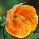 Lantern Bush - Abutilon Hibiscus by Extraordinary Light