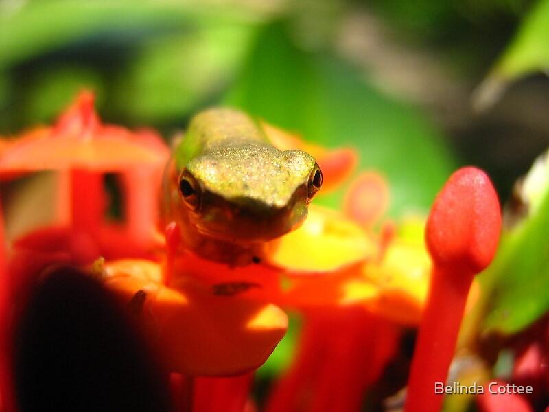 frog on ixora by Belinda Cottee