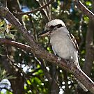 Kookaburra by masterpiececreations