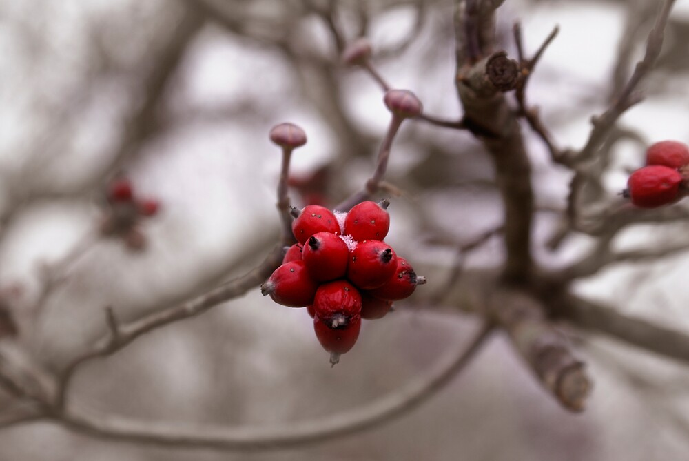 VERY BERRY RED by Rod  Adams