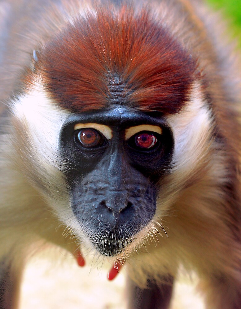 Young female Mangabey by kitlew