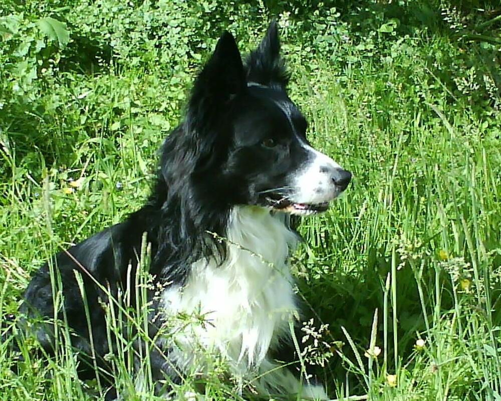 Jacks the beautiful border collie by manuman538