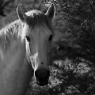 SALT RIVER WILD HORSES, TONTO NATIONAL FOREST ARIZONA APRIL 2017 by photographized