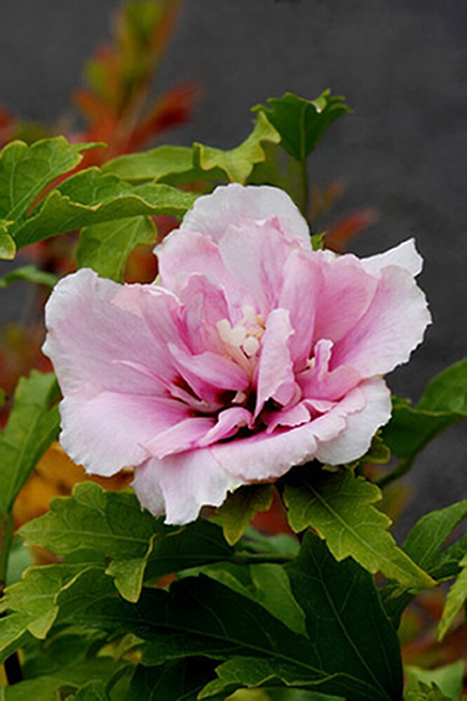 Althaea syriacus 'Pulcherimus' by Dency Kane