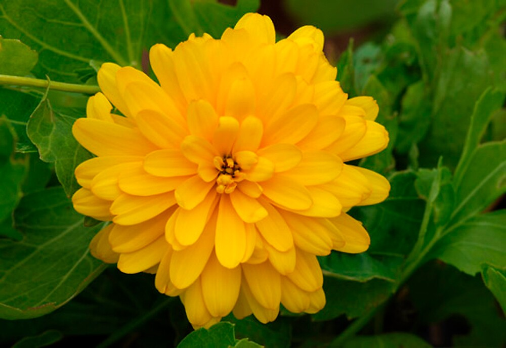 Rudbeckia 'Goldquelle' by Dency Kane