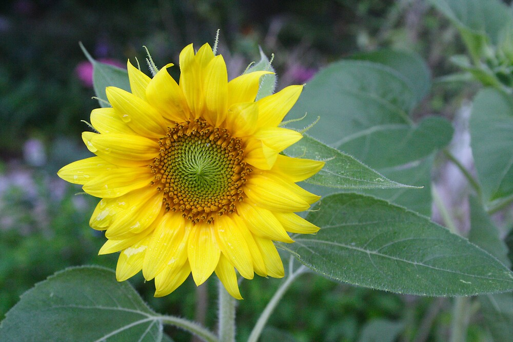 Sunflower by Sheri Ann Richerson