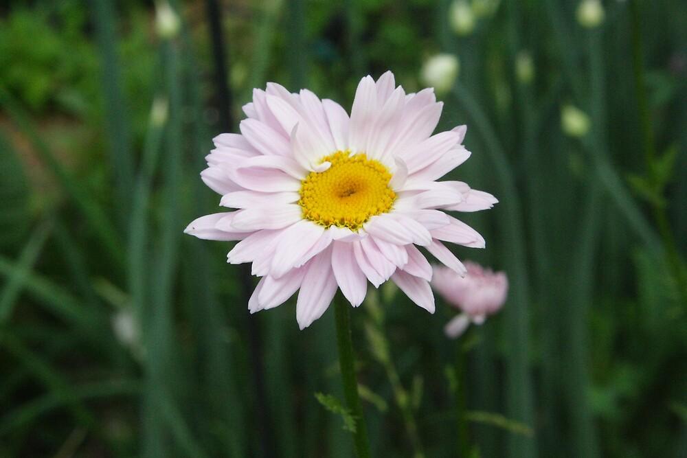 Painted Daisy by Sheri Ann Richerson