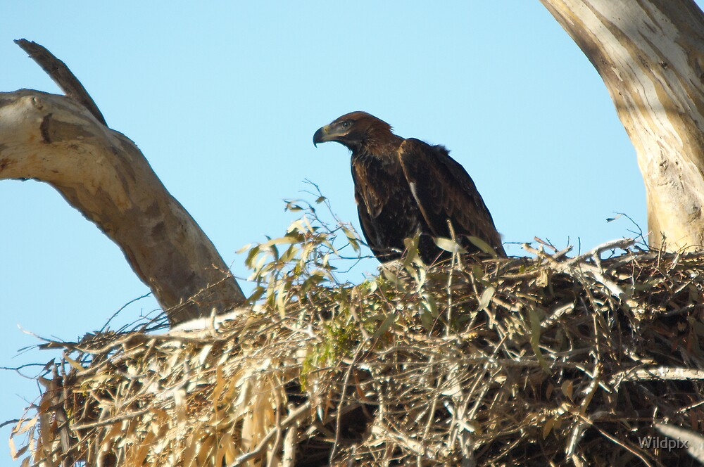 Wedge-Tailed Eagle Chick by Wildpix