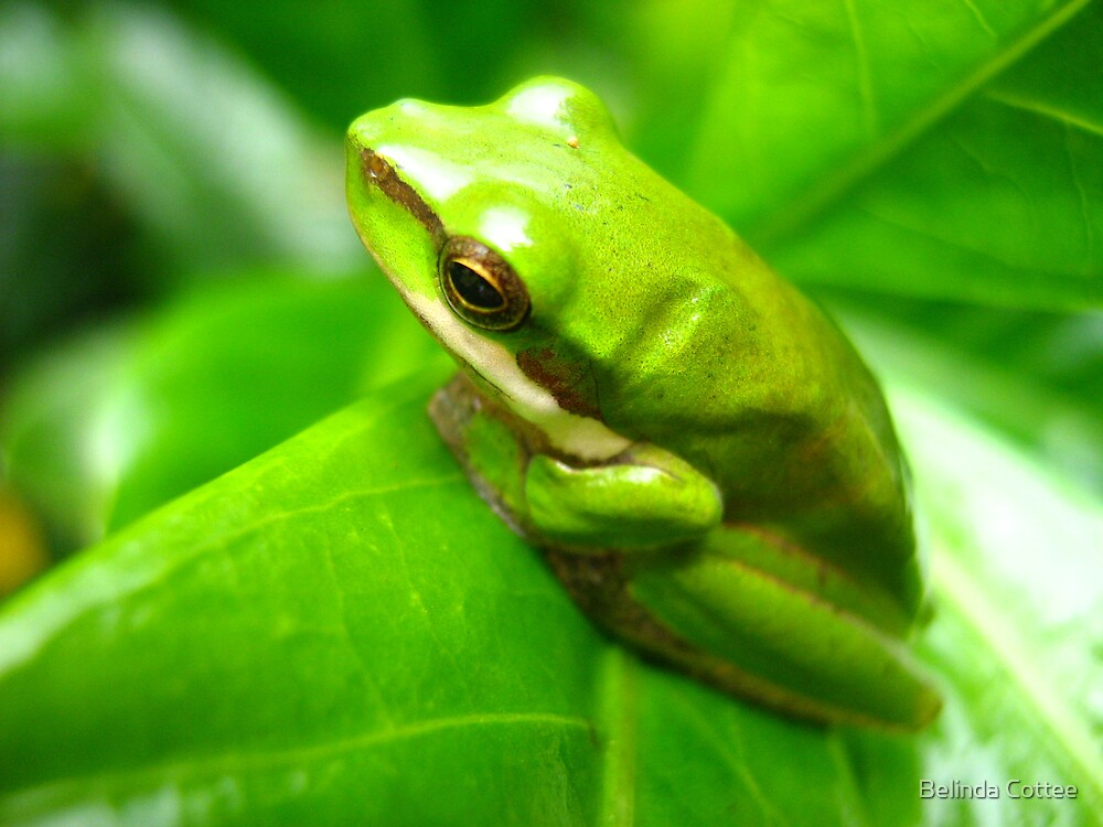 green frog by Belinda Cottee