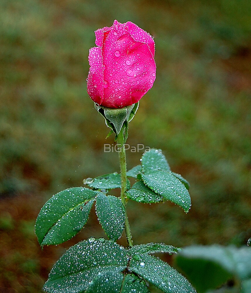 Rose with Droplets after rain. by BiGPaPa
