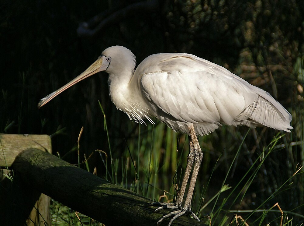 Yellow-billed Spoonbill ... by roger smith