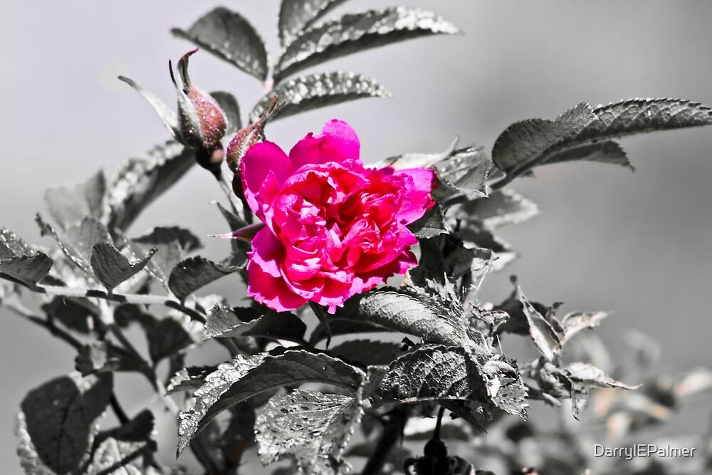 Rose by DarrylEPalmer