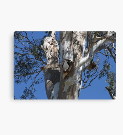 Gum Tree Hollow; Home For A Cockatoo Canvas Print