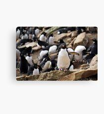 Rockhopper Penguin, Falklands Canvas Print