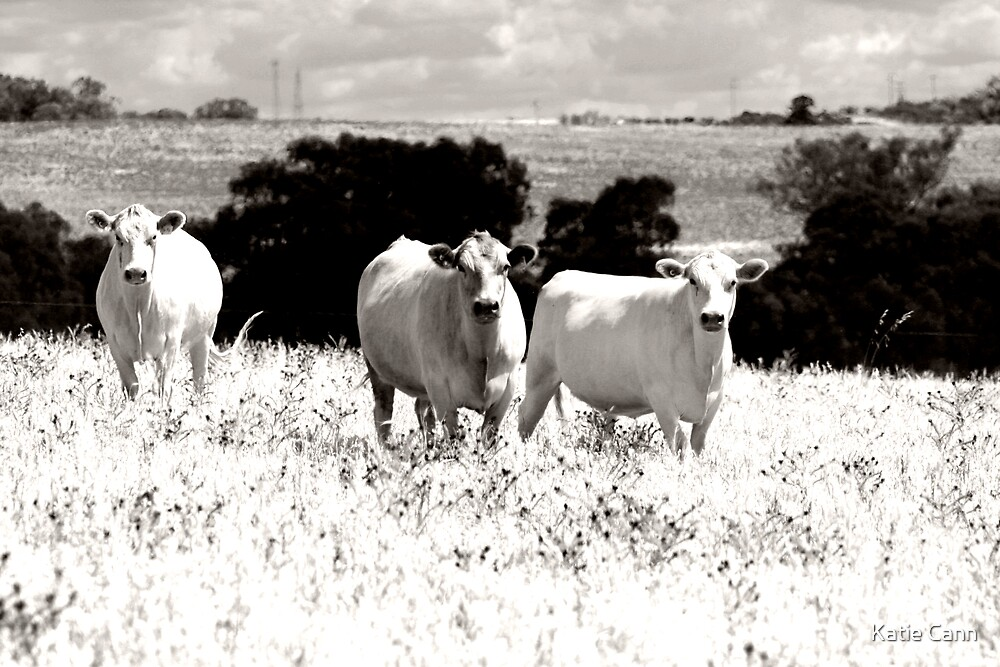 Cows by Katie cann