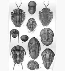 Trilobite Poster