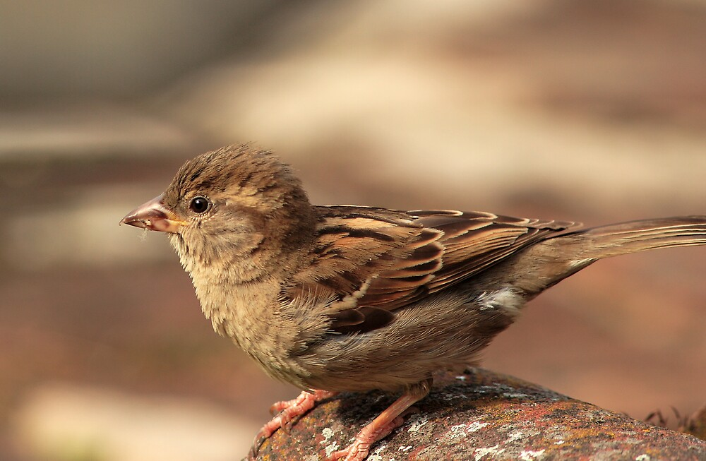 Sparrow on Lichen by kitlew