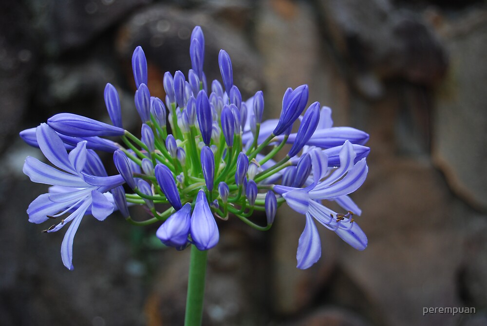 Agapanthus by perempuan