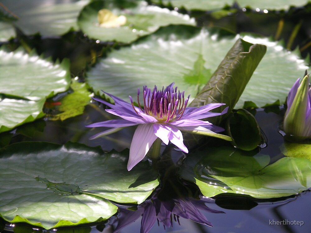 Waterlily by khertihotep