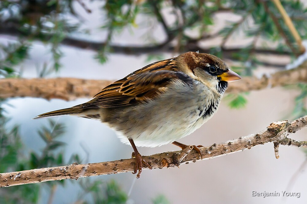 Tree Sparrow by Benjamin Young