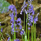 Bluebells for the faeries by Lynn Excell