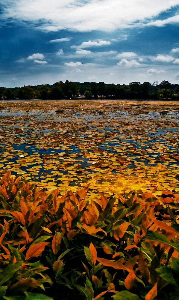 Gallup Park Golden Lillies by Murtasma