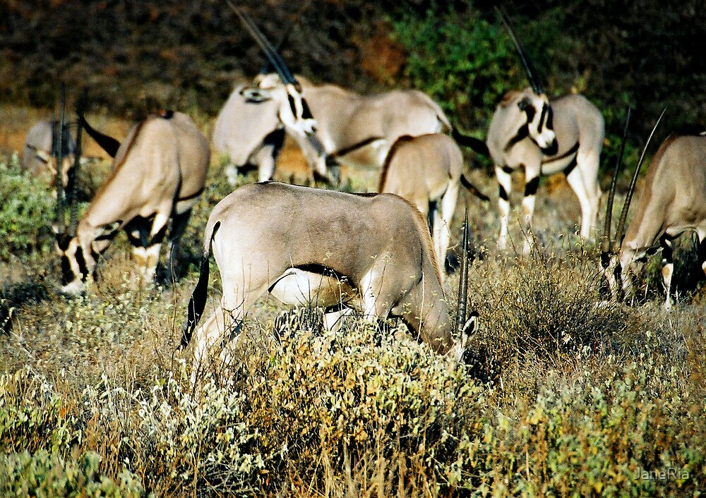 Herd of Gemsbok Oryx by JaneRia