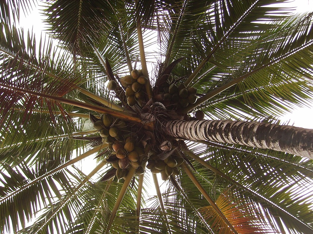 COCONUT TREE by LIZBO