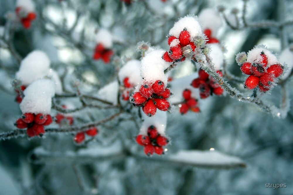 red berries and snow by strypes