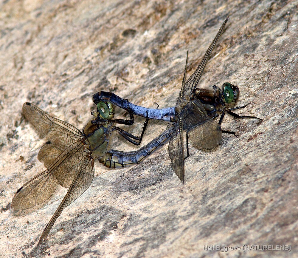 Mating Black-tailed Skimmer Dragonflies by Neil Bygrave (NATURELENS)