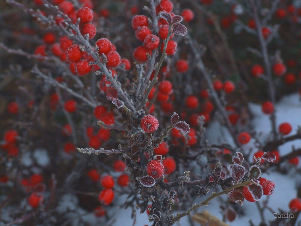 Winter Berries by Catcha