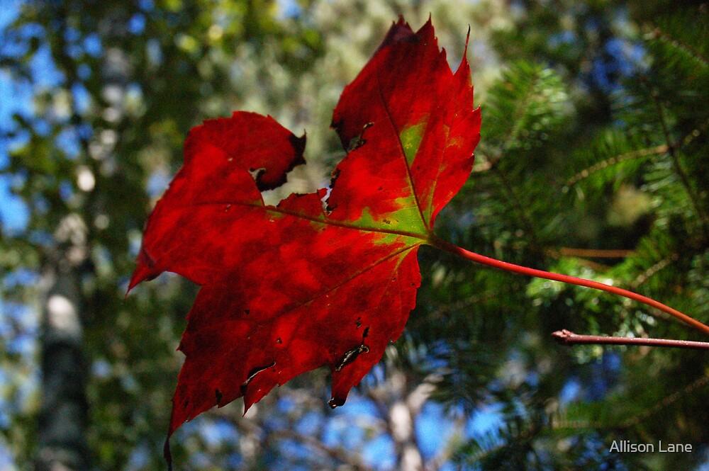 Maple Leaf by Allison Lane