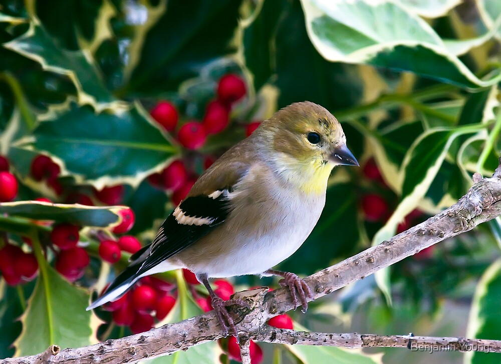 American Gold Finch by Benjamin Young