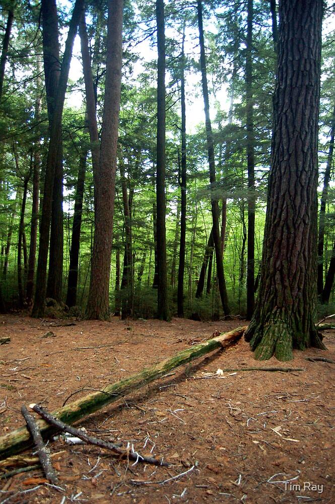 Fallen Tree by Tim Ray