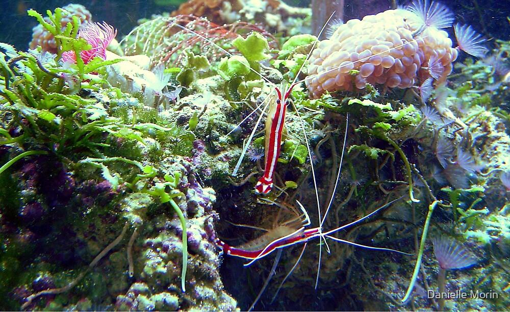 Cleaner Shrimp by Danielle Morin