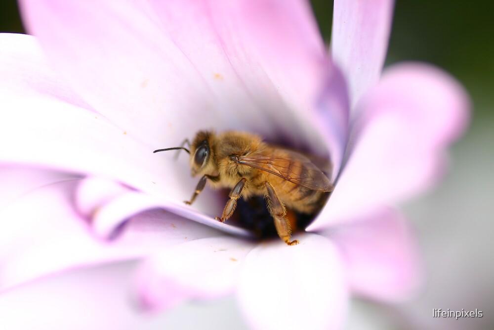 Bee in the flower by lifeinpixels