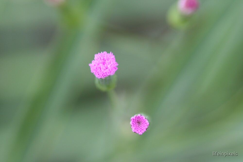 Flower almost in bloom by lifeinpixels